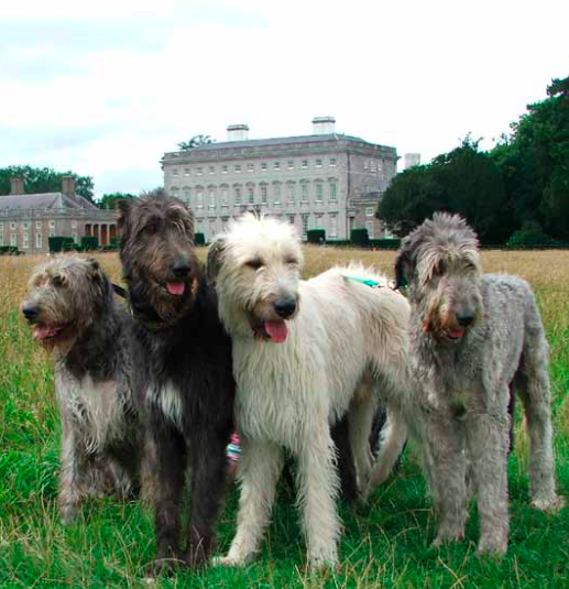 The Irish Wolfhound Club Championship @ Front Lawns | Celbridge | County Kildare | Ireland
